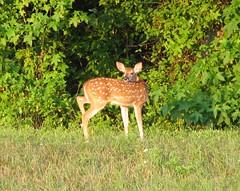 270 degree looking at me (ut.law97) Tags: deer whitetail faun