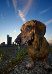 Rambo (Philipp Klinger Photography) Tags: sunset portrait sky dog clouds rambo peopleschoice ultrawideangle sigma1020 dachshung 25faves impressedbeauty aplusphoto superbmasterpiece superhearts thatsbostin dcdead flickrlovers