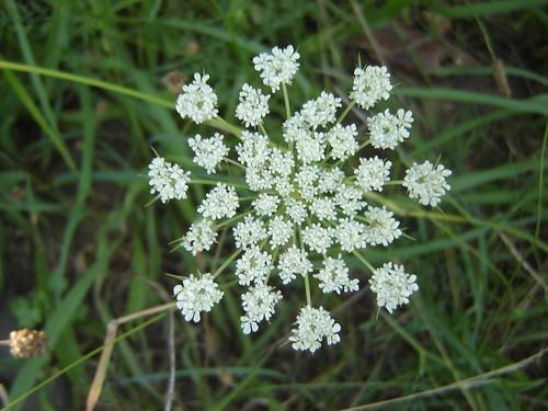 flor de cicuta por Coloraudia.
