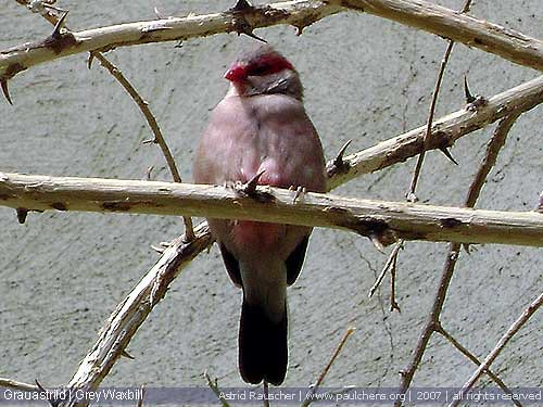 Grauastril | Grey Waxbill