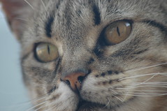 Mirada (visol) Tags: cat gata chatte mixa tickedtabby thebiggestgroupwithonlycats