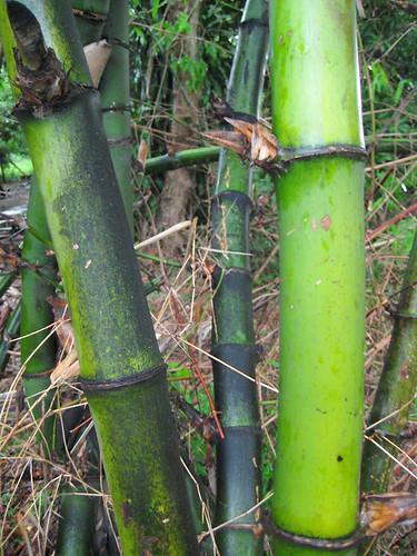 Bayog Bamboo