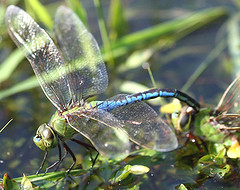 Common Green Darners (Anax junius) (mwprosser) Tags: wonderworld worldbest buzznbugz