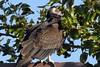 Turkey Vulture (Cathartes aura) DSC_0007 (NDomer73) Tags: bird september vulture 2007 turkeyvulture ridgefield ridgefieldnationalwildliferefuge ridgefieldnwr 09september2007
