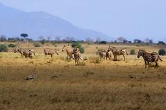 Zebra On A Plain (Phil Stronge) Tags: africa park nature animals landscape kenya wildlife east safari national zebra plain tsavo