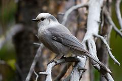 quick grey bird 01 (hallbilly) Tags: yellowstonenationalpark yellowstone greyjay yellowstonewildlife
