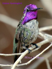 Costa's Hummingbird (gatespassbear) Tags: arizona bird nature hummingbird tucson wildlife explore sonoran birdwatcher costashummingbird calyptecostae naturescall 10faves specanimal anawesomeshot colorphotoaward impressedbeauty avianexcellence treeofhonor