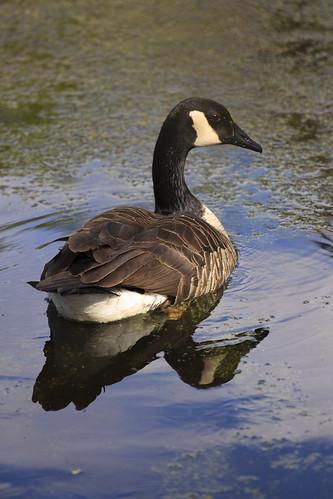 Goose Go Bye-Bye