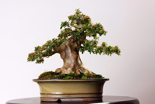 Grafted Crape Myrtle