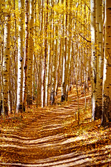 Path Through the Aspens (kotobuki711) Tags: autumn fall leaves colorado dof path hike september foliage co aspens pathway aspengrove kenoshapass