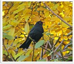 Amselmann Kurti zu Besuch - Mr. Blackbird Kurti makes a visit!