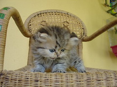 Kitten on a chair (catherine.caf) Tags: cat persian kitten chat chaton persan cc100