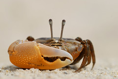 Crabe des cocotiers (le_faju) Tags: sea male eye beach nature animal thailand eyes crab sands grip animalkingdomelite abigfave phunket