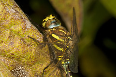 "Common Hawker Dragonfly (Aeshna junce(3) • <a style=""font-size:0.8em;"" href=""http://www.flickr.com/photos/57024565@N00/1214893469/"" target=""_blank"">View on Flickr</a>"