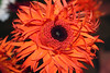 (matiya firoozfar) Tags: orange flower colour canon iran coloured eos400d matiya matiyafiroozfar ماتیا فیروزفر firoozfar ماتیافیروزفر 400ِd