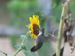 Hummer on sunflower
