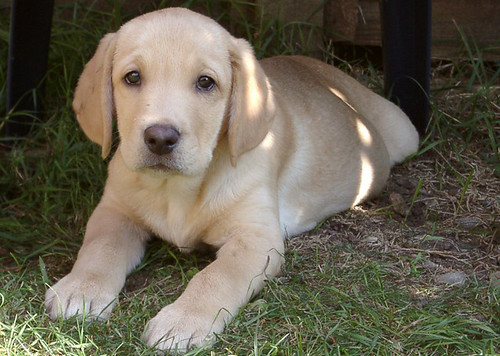 cute yellow labrador puppy. Basil Cute Labrador Puppy