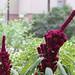 Amaranthus gangeticus