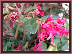 Flowers and buds of 'Sizzling Pink' Loropetalum, captured September 25, 2007