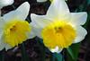 Twin Delights! (antonychammond) Tags: uk flowers england white yellow garden britain eastsussex narcissi daffodils bexhillonsea bej masterphotos firsttheearth flowerwatcher naturewatcher mimamorflowers awesomeblossoms gfeffe