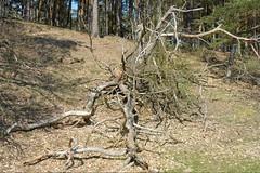 Old tree (ThomasKohler) Tags: wood lake tree nature see natur teich holz baum mv mecklenburg stamm feisneck seenplatte feisnecksee