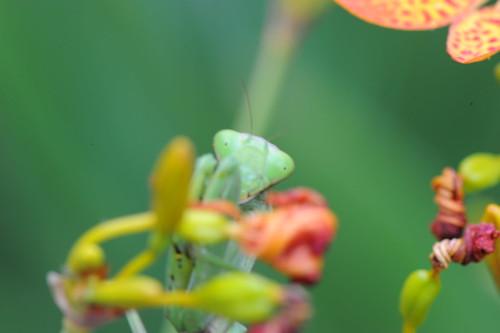 螳螂捕蝶 054