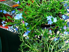Lithodora Ground Cover