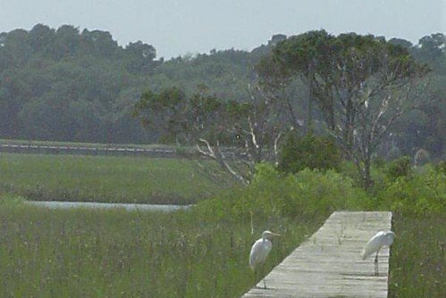Two snowy egrets stand on a dock on the inlet side of Pawleys Island
