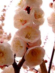 Plum Blossoms (ericlty) Tags: japan osaka ume   osakacastle plumblossoms
