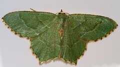 "Common Emerald Moth (Hemithea aestiva(2) • <a style=""font-size:0.8em;"" href=""http://www.flickr.com/photos/57024565@N00/724900906/"" target=""_blank"">View on Flickr</a>"
