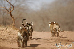 Tiger cubs in Ranthambhore National Park (dickysingh) Tags: wild india nature outdoor wildlife tiger aditya tigers cubs their showing ranthambore singh piggies ranthambhore dicky wildtiger littlestories indiantiger specanimal pantheratigristigris ranthambhorebagh naturewatcher tigerreseve bengaltigercubs thatsbostin adityasingh dickysingh ranthamborebagh theranthambhorebagh mailciler flickrexcellentphotos picswithsoul