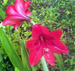 Late blooming amaryllis