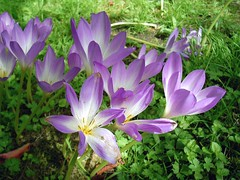 Dunvegan park : colchici (g.fulvia) Tags: flowers garden violet botanicalgarden colchicum colchico thepoweroftheflower dunveganpark
