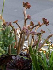 #9184 Aeonium arboreum () (Nemo's great uncle) Tags: tokyo succulent flora  yanesen yanaka  tky irishrose  aeoniumarboreum  taitku  treeaeonium  sempervivumarboreum treehouseleek