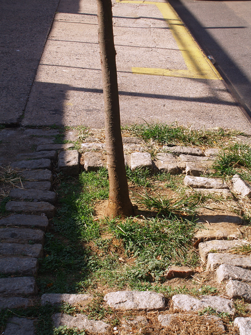 tree grows through sidewalk