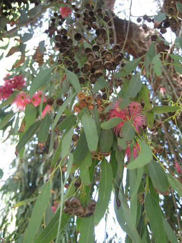 Eucalyptus pods and blooms