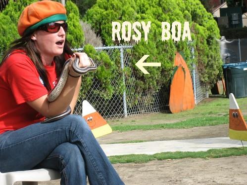 Rosy Boa
