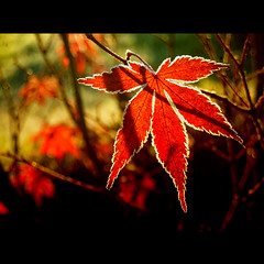 my best autumn leaf ( Peter Grahlmann ) Tags: park morning winter red black macro art ice nature colors leaves garden maple colours shadows bokeh acer icy anawesomeshot colorphotoaward flickrdiamond blinkagain musictomyeyeslevel1 flickrstruereflection1