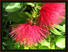 Dwarf Honeybee (Apis florea) on Calliandra emarginata (Red Dwarf Powderpuff)