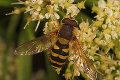 """Hoverfly (Xanthogramma pedissequum)(2) • <a style=""""font-size:0.8em;"""" href=""""http://www.flickr.com/photos/57024565@N00/536334497/"""" target=""""_blank"""">View on Flickr</a>"""