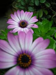 hallmark wannabee ()x(Nato)x() Tags: flower nikon purple australia coolpix p5000