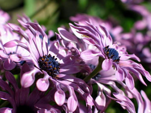 African Daisies II