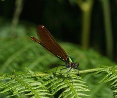 "Female Beautiful Demoiselle Damselfly(2) • <a style=""font-size:0.8em;"" href=""http://www.flickr.com/photos/57024565@N00/548198438/"" target=""_blank"">View on Flickr</a>"