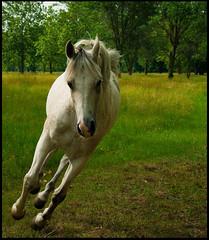 Airborne! (PGornell) Tags: horse arabian peopleschoice abw blueribbonwinner anawesomeshot impressedbeauty youvsthebest photofaceoffwinner covetingphotography peopleschoicerecovery pfogold thepinnaclehof