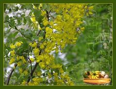 Happy Vishu (magic lens) Tags: ecards vishu cassiafistula kanikonna