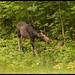 My First Moose Image Burry But I  Am Keeping