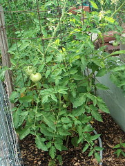 Yay tomatoes