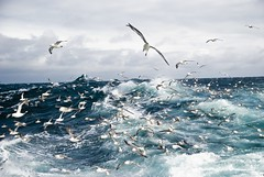 fulmars in wave (Kibonaut) Tags: sea work see fishing offshore north fulmar bianca portfolio arbeit nordsee cutter trawler netz reportage zentrale cuxhaven seefahrt fulmars kutter fischfang trawl seelachs hochsee glacialis fischerei seegang impressedbeauty fulmaris schleppnetz kutterfisch eissturmvogel eissturmvgel