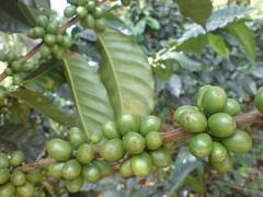 DSC03137.JPG (zorans) Tags: colombia lbs coffeeregion mba2004