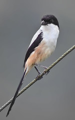 Long-tailed Shrike (Lanius scach) (Grandpa@50) Tags: shrike lanius laniusschach longtailedshrike avianexcellence naturewatcher platinumheartaward laniusscach